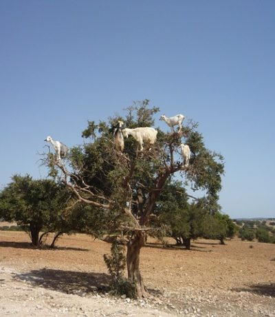 argan 1580821 640 400x460 - MOROCCO TRAVEL TIPS AND UPDATES